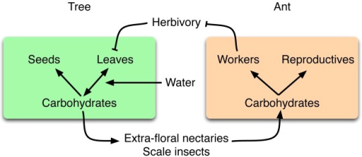Schematic of relationships among water, carbon, and mutualistic carbohydrate allocation strategies.Trees and protective ants engage in an indirect exchange of carbon. Trees produce carbohydrates by photosynthesis and use them for growth, reproduction, and to support the scale insects that feed the defending ant colony. Water is necessary for trees to produce leaves and affects the efficiency with which leaves produce carbohydrates. Ants use carbohydrates to make sterile workers and reproductives. Workers defend the tree leaves from herbivory, and thereby protect the carbon source. Arrows denote positive effects; lines that end in Ts denote negative effects. In this study, we examine these relationships to test whether water stress leads to carbon stress and thereby increases the strength of the ant–plant mutualism.