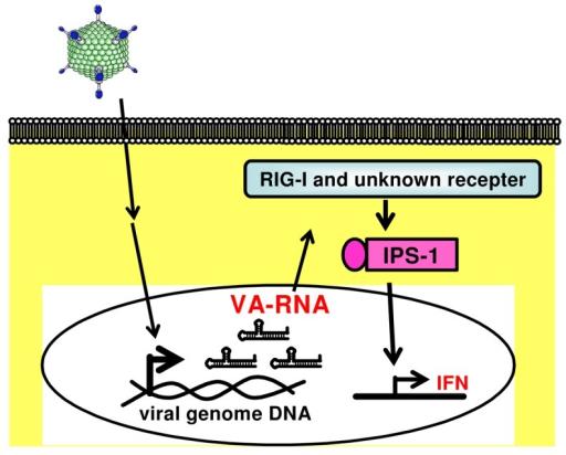 va rna induced production of type i ifns through an ips open i Viral Replication RNA va rna induced production of type i ifns through an ips 1