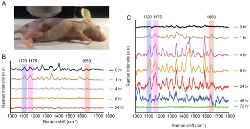 In vivo multiplex detection in xenograft tumor: (A):- Image of a tumor bearing mouse from test group used in experiment.(B):-SERS spectra from tumor site in a representative control mice showing the peaks at 1120,1175 and 1650 cm−1 from non bioconjugated SERS nanotags corresponding to Cy5, MGITC and Rh6G respectively. Signal intensity is not detectable 6 hours after injection and nanotags gets cleared fast from the body due to the lack of specific binding. (C):- SERS spectra from tumor site in a representative test mice showing the peaks at 1120, 1175 and 1650 cm−1 from the bioconjugated Cy5, MGITC and Rh6G nanotags bound to TGFβRII, CD44 and EGFR biomarker respectively. Due to active targeting, multiplex SERS spectra is observed up to 48 hours followed by the clearance of nanotags from the mouse body by ~72 hours.