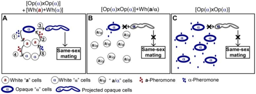 Schematic models depicting that white cells facilitate same-sex mating of opaque cells.(A) When the majority are white a and/or α cells, same-sex mating between the minority opaque α and α cells can occur. (1) Opaque α cells secrete α-pheromone and (2) induce the majority white a cells to secrete a-pheromone. (3) a-Pheromone in turn induces opaque α cells to form long mating projections and undergo same-sex mating. (4) a-Pheromone induces white α cells to secrete α-pheromone. (5) α-Pheromone further activates white a cells to secrete a-pheromone. (B) When the majority are a/α cells, the minority of opaque α cells cannot form mating projections and cannot undergo same-sex mating. Opaque α cells secrete α-pheromone constitutively, while a/α cells do not secrete pheromone. (C) In the absence of white a cells, opaque α cells cannot form mating projections and cannot undergo same-sex mating.