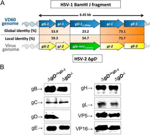 Characterization of the ΔgD−/− virus.(A) Alignment of the upstream and downstream regions of gD located within the HSV-1 BamHI J fragment encoded in VD60 cells and within the genome of ΔgD−/− using LALIGN (ExPASy) (Myers and Miller, 1988). Global alignments assess end-to-end sequences and local pairwise alignments search for regions with high identity. (B) Western blots of dextran gradient-purified virus isolated 24 hr after infection of VD60 (ΔgD−/+gD−1) and Vero (ΔgD−/−) cells. Protein expression was assessed for viral glycoproteins B (gB, UL27), gC (UL44), gD (Us6), gE (Us8), gH (Us22), gL (UL1), VP5 (UL19) and VP16 (UL48).DOI:http://dx.doi.org/10.7554/eLife.06054.003