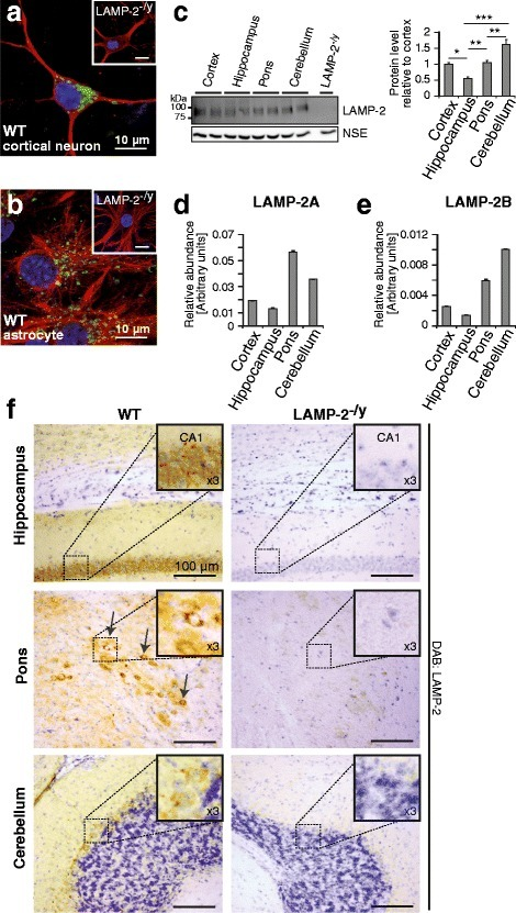 LAMP-2 expression in brain. LAMP-2 (green) vesicular staining detected in (a) MAP-2 (red) positive cultured primary neurons and (b) GFAP (red) positive primary astrocytes (LAMP-2-deficient (LAMP-2-/y) cultures were used to control for antibody specificity). (c) Immunoblot and respective densitometric analysis of LAMP-2 (n = 5) showing its expression throughout murine brain (cortex from a LAMP-2-/y mouse was used to show specificity of the LAMP-2 antibody; actin was used as a loading control; *p < 0.05, **p < 0.01, ***p < 0.001). Quantitative RT-PCR of isoforms (d) LAMP-2A and (e) LAMP-2B in respective brain regions. (f) Representative histological brain sections stained for LAMP-2 using the DAB method and counterstained with Nissl. No signal was detected in LAMP-2-/y brains. Enriched expression was observed in the pyramidal layer of the hippocampus, within the Purkinje cell layer of the cerebellum and within a region of the pons. Insets show zoomed images of regions outlined.
