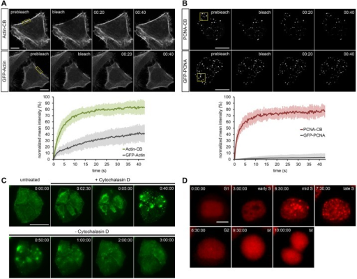 Localization dynamics of actin-CB and PCNA-CB in HeLa cells. (A) FRAP of actin-CB (upper row) or GFP-actin (lower row) transiently expressed in HeLa cells. Photobleaching of a small region (yellow box) shows a significantly faster recovery (t1/2: 3.83 s) of actin-CB compared with GFP-actin, indicating transient antigen binding. The plot shows average values of total fluorescence at consecutive time points, n=10. Error bars indicate s.d. (B) Photobleaching of replication foci during S phase (yellow box) shows fast recovery of the PCNA-CB signal (t1/2: 1.81 s), whereas almost no recovery of GFP-PCNA can be detected. The plot shows average values of total fluorescence at consecutive time points, n=10. Error bars indicate s.d. (C) HeLa cells stably expressing actin-CB imaged upon treatment with 2 μM cytochalasin D (an actin polymerization inhibitor) for 40 min and during subsequent recovery (180 min). Time-lapse imaging reveals drug-induced actin reorganization. (D) Time-lapse analysis of a HeLa cell stably expressing PCNA-CB. During G1, the chromobody signal is evenly distributed throughout the nucleus. Over time, granular foci redistribute at sites of DNA replication, indicating the progression of S phase (3-7.5 h), until foci disappear in G2 (8.5 h) and the cell divides (10 h). Time-stamps: min:s (A,B), h:min:s (C,D). Scale bars: 10 μm in A,B,D; 50 μm in C.