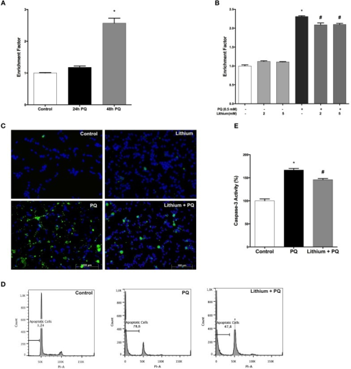 Lithium reduces apoptotic cell death induced by PQ in SH-SY5Y cells. (A) DNA fragmentation was increased with 0.5 mM PQ treatment, which was analyzed by Cell Death ELISA assay. (B) Lithium (2 mM and 5 mM) pretreatment reduces DNA fragmentation induced by PQ in SH-SY5Y cells. (C) Apoptotic cells were stained by Annexin-V-FITC dye and visualized using immunofluorescence microscopy. (D) Flow cytometric analysis of the sub G1 apoptotic population was assessed by using PI staining. Lithium attenuates PQ induced increase of sub G1 apoptotic population in SH-SY5Y cells (E). Caspase-3 activity was evaluated in lysates of treated cells by spectrophotometric detection of the chromophore p-nitroaniline (pNA) formed after cleavage from the labeled substrate DEVD-pNA. Lithium reduced PQ induced caspase-3 activity increase in SH-SY5Y cells. The data are presented as mean ± S.E, n = 5. (*p < 0.05 compared to control and #p < 0.05 compare to PQ treated cells).
