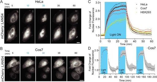 Real time light induced nuclear translocation of LANS4 in mammalian tissue culture cells.(A) Representative images for light activation and reversion in HeLa cells and Cos7 (B) (scale bar = 25 μm); (c) Plotting the fold change of nuclear accumulations in HeLa, Cos7 and HEK293 (n = 4 each, mean reported ± SEM with dashed line). See also S1, S2 and S3 Movies. The blue shaded region indicates pulsed blue light activation (see Supplemental experimental procedures). (C) Multple activation reversion cycles in Cos7 (n = 2, mean reported ± SEM with shaded grey area). The blue shaded regions indicate pulsed blue light activation.