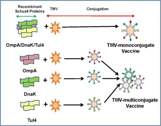 Vaccine Formulations.Two different vaccine formulations were used. In the first vaccine formulation all three recombinant proteins OmpA, DnaK and Tul4 were conjugated to a single TMV virion (TMV-monoconjugate vaccine). The second vaccine formulation contained each recombinant protein of F. tularensis conjugated individually to TMV and then mixed in equal concentrations to generate a TMV-multiconjugate vaccine.