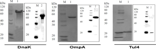 Expression and Purification of Recombinant DnaK, OmpA and Tul4 Proteins of F. tularensis SchuS4.Purification of recombinant OmpA, DnaK and Tul4 proteins of F. tularensis SchuS4 proteins was confirmed by SDS-PAGE and western blot analysis using anti-His antibodies.