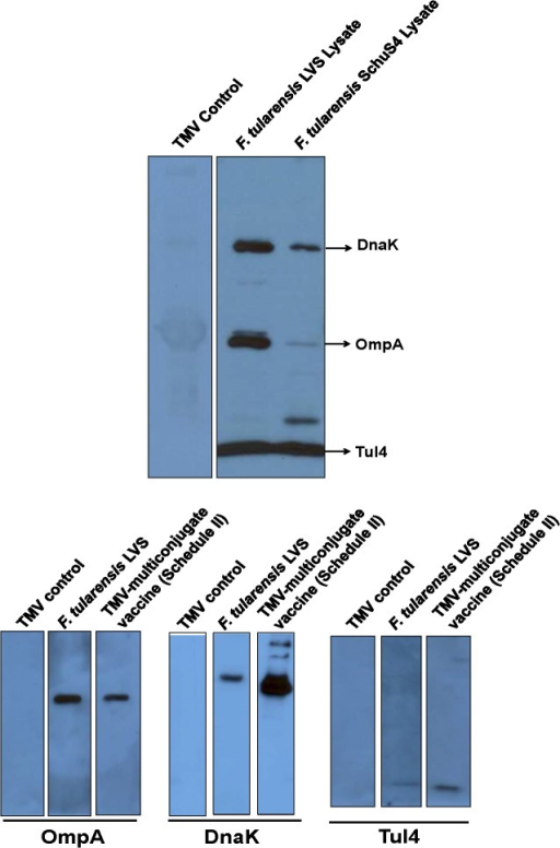 Immunization of Mice with TMV-Multiconjugate Vaccine Induces Antibody Responses Capable of Recognizing both Native and Recombinant OmpA, DnaK and Tul4 Proteins.(A) Serum collected on day 28 post-immunization from C57BL/6 mice immunized with TMV-multiconjugate vaccine (Schedule II) was pooled (n = 4) and blotted against F. tularensis LVS and SchuS4 lysates. (B) Pooled serum from C57BL/6 mice (n = 4) immunized either with TMV-multiconjugate vaccine, or 100 CFU of F. tularensis LVS were collected on day 28 post immunization and blotted against purified recombinant OmpA, DnaK and Tul4 proteins. Sera from mice inoculated with TMV alone were used as controls.