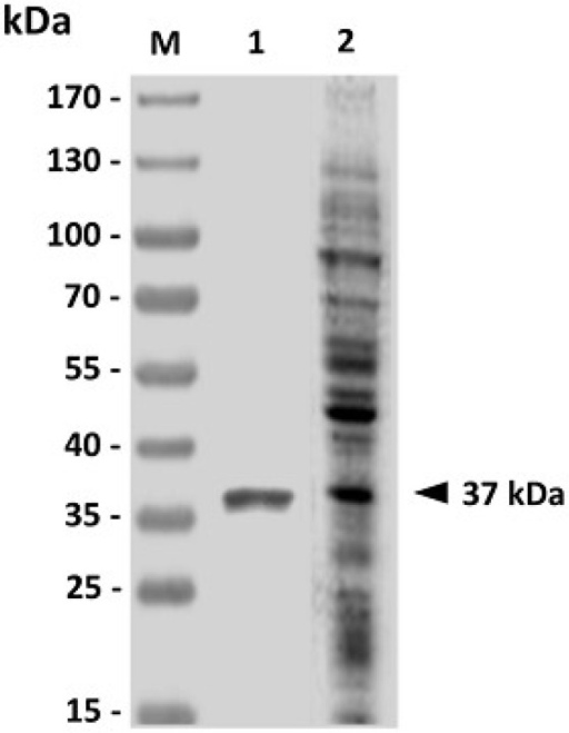 Analysis of purified recombinant GAPDH (rGAPDH) by western blotting. Purified E. coli-based rGAPDH protein (Lane 1) was analyzed with V. harveyi-infected grouper sera, which could recognize V. harveyi lysate (Lane 2). Standard protein markers (Lane M) are shown on the left.