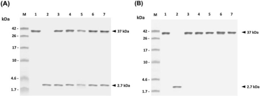 In vitro release of rGAPDH or PLE peptide from PLG microparticles. The rGAPDH (Lane 1), PLE peptide (Lane 2), as well as released samples of PLG-PLE/rGAPDH microparticles (A) and PLG-rGAPDH microparticles (B) on Days 6 (Lane 3), 12 (Lane 4), 18 (Lane 5), 24 (Lane 6) and 30 (Lane 7) were analyzed by 18% SDS-PAGE. Standard protein markers (Lane M) are shown at the left.