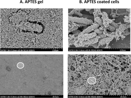 Scanning electron micrographs at two levels of magnification showing encapsulated E. coli cells in APTES gels with SNPs (APTES gel) (A) and E. coli cells coated by APTES (APTES-coated cells) (B). The scale bars of the top images are 2 µm, and the scale bars of the bottom images are 20 µm. Each white circle highlights a single cell to give another perspective of the size differences between the top and bottom images.