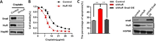 HuR KD cells increased apoptosis and sensitivity to cisplatin.A, KD HuR decreased the Snail protein level in cisplatin-treated (15 μg/ml, 24 h) cells. Hsp90 served as a loading control. B, the CRL-1848 cell line HuR KD or control cells were treated with different concentrations of cisplatin for 24 h. Cell viability was determined using an MTT assay; cell viability was expressed as the percent of total cell number. C, Western blot analysis of HuR KD and Snail expression in the CRL-1848 cell line, left side, apoptotic cells were quantified in HuR KD and snail overexpression in the CRL-1848 cell line following cisplatin treatment (15 μg/ml, 24 h). The annexin V apoptosis detection kit for the quantification of apoptotic cells was used.