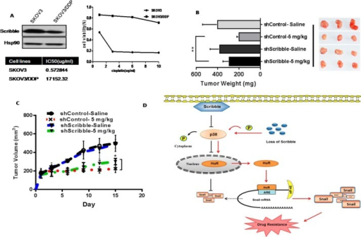 Loss of Scribble mediates drug resistance both in vivo and in vitro.A, protein levels of Scribble in the indicated cisplatin-resistant SKOV3/DDP cell lines (and respective parent lines) were detected by immunoblotting with anti-Scrib and HSP90. HSP90 served as a loading control, the MTT assay was used to assess the relative survival of cells harboring the control RNAi or Scribble RNAi after treatment with cisplatin at the indicated concentrations. Assays were performed in triplicate and the results are presented as the mean ± S.D. B, nude mice harboring tumors derived from implanted control A549 or A549 Scribble KD cells were treated by intraperitoneal injection with saline or 2.5 mg/kg of cisplatin. Tumor weights calculated are presented as the mean ± S.D. for each group (n = 4), and their weight plotted in comparison to mice. **, p < 0.01 (Student's t test). C, tumor dimensions were recorded; *, p < 0.05 (Student's t test). D, a model proposed mechanism for Scribble regulation of p38 MAPK activity and HuR translocation, resulting in increased Snail translation and promotion of drug resistance. P in circles indicates phosphorylation.