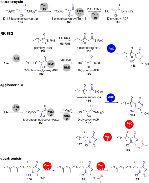Conserved steps for formation and processing in several 3-acyl-tetronate biosynthetic pathways were confirmed by in vitro studies. Tmn7a, RkC, RkF and Agg3 are ACPs. Fragments, which are established by tetronate processing are shown in red [139,141–143].