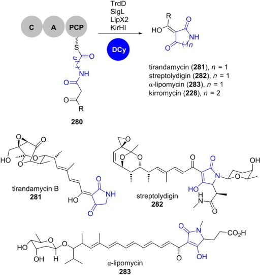Dieckmann cyclases catalyse tetramate or 2-pyridone formation in the biosynthesis of, for example, tirandamycin B (281), streptolyldigin (282), α-lipomycin (283) and kirromycin (228), respectively. DCy: Dieckmann cyclase. Adapted from [174].