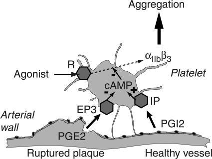 Proposed model for in vivo action of PGE2/EP3 upon thrombosis. Platelet agonists activate their specific receptor (R), triggering the signaling cascade and exposing the integrin αIIbβ3, which is crucial for platelet aggregation. Inflammation of the vessel or rupture of the plaque releases PGE2 locally. Activation of its EP3 receptor on platelets decreases the internal level of cAMP, whereas activation of IP receptor by endothelium-produced PGI2 increases it. This balance between PGE2 and PGI2 eventually determines the intracellular level of cAMP. Because the cAMP level inhibits some steps of the signaling cascade activated by R, the balance ultimately regulates the platelet capability to aggregate in response to its agonists. Hence, platelet rupture or vessel wall inflammation enhances platelet aggregability via the release of PGE2.