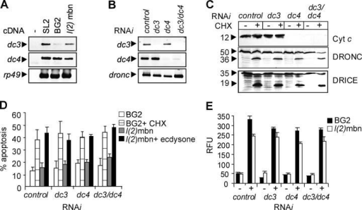 DC3 and DC4 are not required for caspase activation and apoptosis. (A) Endogenous expression of dc3 and dc4 transcripts in Drosophila cell lines as detected by RT-PCR. (B) BG2 cells were treated with dsRNAs for dc3, dc4, or both dc3 and dc4, and ablation of the target genes assessed by RT-PCR. Amplification of a 405-bp dronc region was used as a control. (C) BG2 cells treated with dsRNA to dc3, dc4 or both, were exposed to cycloheximide (CHX) or were left untreated. Absence of DC4 protein was confirmed by immunoblotting with cytochrome c antibody. Processing of DRONC and DRICE was detected by immunoblotting. Relative molecular masses of the proteins in kilodaltons are shown. (D) Apoptosis induced in BG2 cells by CHX (10 μg/ml for 6 h), or l(2)mbn cells by ecdysone (10 μM for 24 h) treatment was estimated by scoring cells with condensed nuclei by DAPI staining. Data (mean ± SEM) were derived from four independent experiments. (E) Caspase activity, presented as relative fluorescence units (RFU), was determined on DEVD-amc substrate in BG2 or l(2)mbn cells treated (+) with CHX (10 μg/ml for 6 h) or ecdysone (10 μM for 24 h), respectively, or left untreated (−). Data (mean ± SEM) were derived from three experiments.