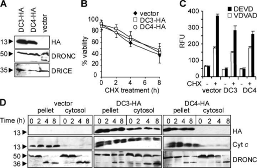 DC3 or DC4 expression does not affect cell death or DRONC processing. (A) BG2 cells were transfected with DC3-HA or DC4-HA and protein expression confirmed by immunoblotting with HA antibody. Immunoblotting for DRONC and DRICE showed a lack of processing of caspases in cells overexpressing DC3 or DC4. (B) DC3-HA or DC4-HA transfected BG2 cells were treated with cycloheximide for the indicated times and cell death was determined by Trypan blue staining and is represented as mean ± SEM from three independent experiments. (C) Caspase activity in untreated (−) or CHX-treated (+) BG2 cells overexpressing DC3 or DC4. Data (mean ± SEM) derived from three experiments. (D) Cells were fractionated by differential centrifugation to separate heavy membrane (pellet, containing mitochondria) and cytosol. Fractions were immunoblotted for HA, cytochrome c, or DRONC, as indicated. Cytochrome c antibody detects both transfected and endogenous protein as seen by a doublet. Relative molecular masses of the proteins in kilodaltons are shown.
