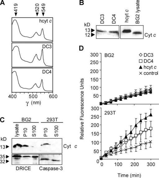 Effect of recombinant DC3 or DC4 on caspase activity in BG2 cell lysates. (A) Absorption spectrum of human cytochrome c (hcytc-His6), DC3His6, and DC4His6. Absorption was measured between 400 and 600 nm at a scanning speed of 1 nm/s. (B) Immunoblot analysis of cytochrome c proteins with anti–cytochrome c antibody detects recombinant DC3His6, DC4His6, and hcytc-His6. White line indicates that intervening lanes have been spliced out. (C) BG2 and 293T cytosolic (S100) extracts immunoblotted with anti–cytochrome c antibody confirm absence of cytochrome c in these fractions. Expression of DRICE and caspase-3 is shown in bottom panel. (D) Purified recombinant DC3His6, DC4 His6, or hcytcHis6 (10 μM) were incubated with BG2 S100 (top) or 293T S100 (bottom) lysates together with 1 mM dATP and caspase activity measured on DEVD-amc. Values represent the mean ± SEM from three independent experiments.