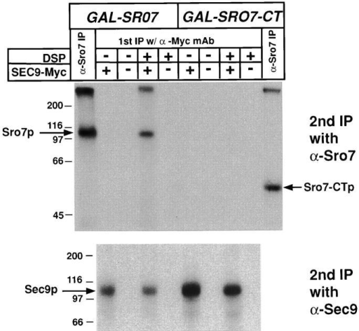 Full-length Sro7p, but not the COOH-terminal half of Sro7p, can be directly cross-linked to Sec9p in yeast lysates. Coprecipitation analysis was performed on radiolabeled yeast strains transformed with either myc-tagged YEpSEC9-myc plasmid (pB37) or, as a control, an otherwise identical untagged YEpSEC9 plasmid (pB37) in strains which contained a construct overexpressing either full-length Sro7 (pB363) or CT Sro7 (pB367) under control of the inducible GAL1 promoter. All strains were induced in galactose-containing media for 2 h before 1 h labeling of cells with 35S-Express label in galactose-containing media. The cells were spheroplasted and lysed osmotically in PBS. Lysates were immediately subjected to treatment with the protein cleavable cross-linking agent (DSP) dissolved in DMSO or a DMSO control for 20 min on ice and subsequently boiled in 1% SDS buffer before dilution with IP buffer. Association because of cross-linking was monitored by a two-step immunoprecipitation protocol with the first immunoprecipitation being with the α-myc or directly with α-Sro7p antibodies (α-Sro7 IP). After washing, samples were boiled in 1% SDS/0.1 M DTT (to cleave the cross-linker), diluted with IP buffer, and subjected to a second round of immunoprecipitation with either α-Sro7p (top) or α-Sec9p (bottom) polyclonal antibodies. Samples were boiled in sample buffer, resolved by SDS-PAGE, dried, and exposed to film. The expression from the GAL1-SRO7 and GAL1-SRO7-CT constructs were similar (compare first and last lanes, marked α-Sro7 IP). A cross-linker and myc tag–dependent interaction is apparent between full-length Sro7p and Sec9p, strongly suggesting that these proteins are directly associated with each other in vivo. In contrast, the COOH-terminal domain does not show a detectable cross-linking in this assay.