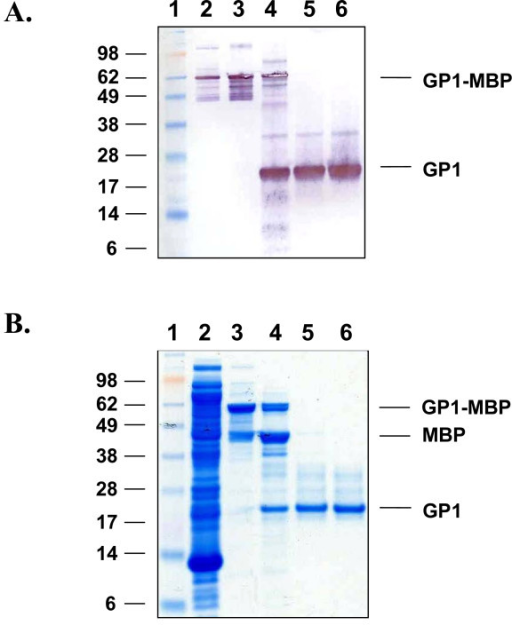 Expression And Purification Of LASV GP1 From E. Coli Ro