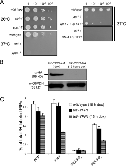 Ypp1 functions in the PtdIns4P signaling pathway to positively regulate Stt4 kinase activity. (A) The relative growth capabilities of wild type, stt4-4, and ypp1-7 at 26 (top left) and 37°C (bottom left). The relative growth capability of ypp1-7 with overexpression of YPP1 from a 2μ plasmid, plasmid alone (pRS426), or overexpressed STT4 at 37°C (top right). Similar growth profile of stt4-4 at 37°C in the presence of vector alone or in the presence of overexpressed YPP1 (bottom right). (B) Whole cell lysate from teto-YPP1-HA cells grown in the presence or absence of doxycycline were analyzed by Western blot with an anti-HA antibody. The relative abundance of Ypp1-HA under the indicated conditions (top) and the relative abundance of a control protein, G6PDH, from the same lysate (bottom) are shown. (C) Phosphoinositide levels in teto-YPP1 cells with and without doxycycline and control R1158 in the presence of doxycycline. Data are presented as means and SD (error bars) of three independent experiments.