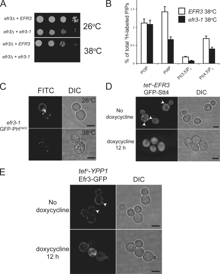 Efr3 recruits PIK patch components to the PM. (A) Growth assay of EFR3 wild type and efr3-1 temperature-sensitive yeast at 26 and 38°C. (B) Phosphoinositide levels of EFR3 and efr3-1 at 38°C. Data are presented as means and SD (error bars) of two independent experiments. (C) Cellular localization of the PtdIns4P reporter GFP-2xPHOsh2 in efr3-1 yeast at the permissive (top) and restrictive (bottom) temperatures. Bars, 4 μm. (D) The localization profile of teto-EFR3 GFP-Stt4 in the absence (top) or presence (bottom) of doxycycline and the corresponding DIC image. Arrows indicate PIK patch localization. Bars, 4 μm. (E) The localization profile of teto-YPP1 Efr3-GFP in the absence (top) or presence (bottom) of doxycycline and the corresponding DIC images. Arrows indicate PIK patch localization. Bars, 4 μm.