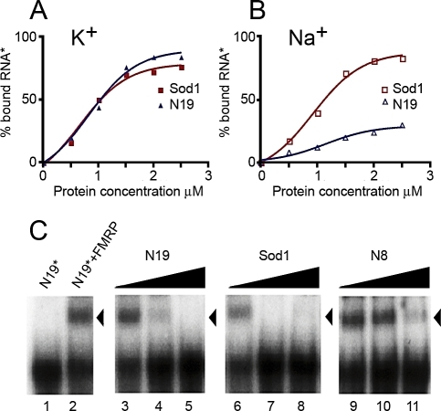 FMRP Specifically Binds Sod1 mRNAFMRP binding to Sod1 mRNA is not dependent on K+. Labeled G-quartet RNA (N19) or Sod1 full-length mRNA were incubated with increasing amounts of recombinant His-FMRP in the presence of K+(A) or Na+(B). FMRP/Sod1 binding was not affected by ionic conditions, whereas, as expected, the presence of Na+ affected FMRP binding to N19.(C) Gel-shift experiments were performed using a 32P-labeled N19 probe incubated with 0.1 pmol of recombinant His-tagged FMRP in the presence of increasing amounts of unlabeled competitors, ranging from 10−9 to 10−7M [lanes 3–5 (N19), lanes 6–8 (Sod1), lanes 9–11 (N8)]. Lane 1, no protein control; lane 2, no competitor control. Note that both N19 (positive control) and Sod1 compete equally well for binding to FMRP, whereas N8 (negative control) only competes at high concentrations (nonspecific binding). All data obtained in these experiments are listed in Table S2.