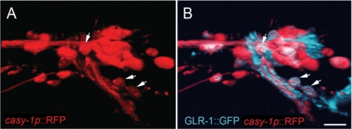 Expression pattern of a transcriptional casy-1 reporter.(A) Expression of the casy-1p::RFP transcriptional reporter (red) and (B) a GLR-1::GFP translational reporter (blue) [22] in the nerve ring of an adult animal. A 3D reconstruction of confocal sections through the left hemisphere is shown (see methods). The two arrowheads in the bottom right corner point at RMDDL and SMDDL and the arrowhead in the top half points at SMDVL, which co-express casy-1p::RFP and GLR-1::GFP. Anterior is left and ventral is bottom. Scale bar in (B) is 10 µm.