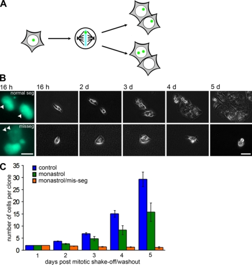 Growth arrest after chromosome missegregation. (A) Schematic for proper segregation and missegregation of a single GFP-marked chromosome. (B) GFP (left) and phase-contrast images of daughter cells that either segregated the marked chromosome normally (top) or abnormally (bottom) at the indicated times after drug washout. Arrowheads point to the LacIGFP/lacO chromosome mark. (C) Number of cells per clone after no treatment, monastrol washout, and monastrol washout with missegregation (mis-seg) of the marked chromosome. Bars represent mean ± SEM (independent clones counted for control, n = 49; monastrol, n = 15; and monastrol/mis-seg, n = 22). Bars: (B, left) 10 µm; (B, right) 50 µm.