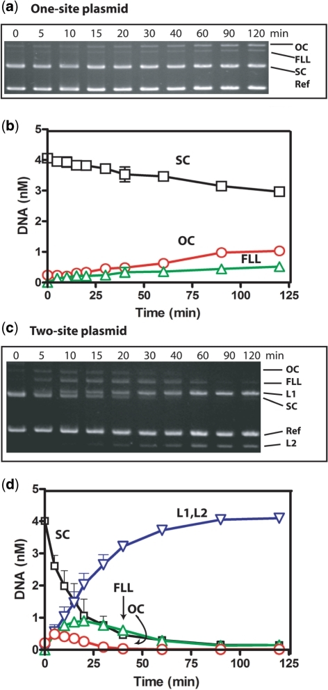 R.PluTI reactions on one- and two-site plasmids. Reaction contained 0.5 nM of purified R.PluTI and 4 nM of supercoiled (SC) DNA in NEB1* buffer (10 mM Tris–propane buffer, pH 7.0 supplemented with 10 mM MgCl2, 1 mM dithiothreitol and 100 µg/ml BSA) at 37°C. DNA was (a and b), LITMUS 38i, with one R.PluTI site; (c and d), pFK1 with two R.PluTI sites. (a and c) Agarose gel electrogram of DNA taken from the reaction at the indicated time: electrophoretic mobilities of open-circle (OC), full-length linear (FLL), supercoiled (SC) and reference DNAs (1.3 kb linear fragment) are marked on the right, in (c) two linear products (L1 and L2) resulting from cutting at the both sites are also marked. (b and d) Concentrations of substrate (SC) and products (OC, FLL and average of L1, L2) over 120 min of reaction. Error bars (shown only one side, and in some cases masked by symbols) indicate standard deviation from three or more independent sets of experiments.