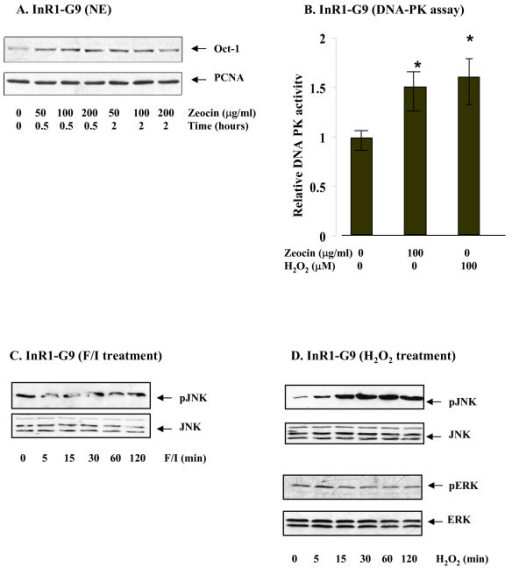 H2O2 provoked DNA-PK and JNK activity.(A) InR1-G9 cells were treated with Zeocin (50, 100 or 200 μg/ml) for indicated time before harvested. Oct-1 expression in the nuclear extract (NE) was then assessed. (B) InR1-G9 cells were treated with vehicle, Zeocin (100 μg/ml) or H2O2 (00 μM) for 2 h before harvested for DNA-PK assay. The values are mean +/- S.E (n = 3). *, P < 0.05. (C, D) InR1-G9 cells were treated with forskolin/IBMX (C) or H2O2 (100 μM) (D) for indicated time. Whole cell lysates were utilized for assessing the expression of JNK and phosphorylated JNK, ERK and phosphorylated ERK.