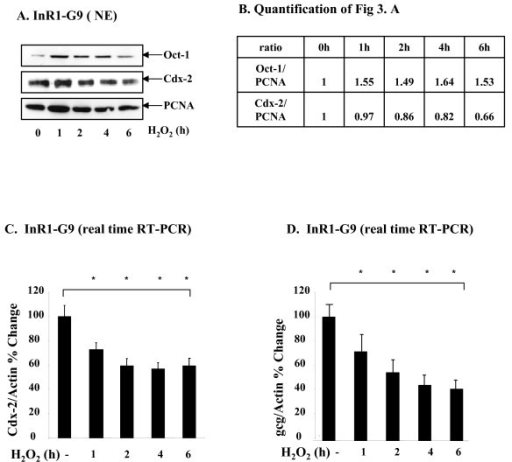 H2O2 increased nuclear Oct-1 content, associated with reduced Cdx-2 and gcg expression. (A) InR1-G9 cells were treated with 100 μM H2O2 for 1 to 6 h, nuclear extract was prepared, followed by the analysis of Oct-1 and Cdx-2 expression by Western blotting. (B) The quantification results of Fig 5A. (C, D) InR1-G9 cells were treated with 100 μM H2O2 for 1 to 6 h. Cdx-2 (C) and gcg (D) mRNA expression was measured by real time RT-PCR.