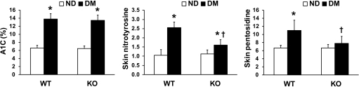 Biomarkers of glyco-oxidation. Blood A1C and skin concentration of nitrotyrosines (a marker of tissue oxidative stress) and pentosidine (a marker of advanced glycation) were determined by high-performance chromatography in wild-type (WT) and p66Shc knockout (KO) diabetic (DM) and nondiabetic (ND) mice. n = 3 mice for each group. *P < 0.05 in DM vs. ND; †P < 0.05 in KO vs. WT.