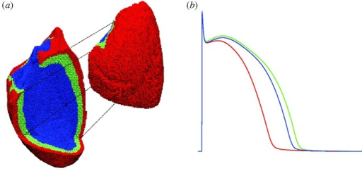 (a) The whole ventricular mesh. A portion of it is shifted to allow visualization of the three layers in which the wall has been subdivided: endocardial (blue), mid-myocardial (green) and epicardial (red). (b) Action potentials of isolated cells included in the three layers.