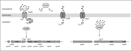 Model of copper excess response in C. glutamicum.The CopS sensor kinase recognises high extracellular copper concentrations followed by autophosphorylation and phosphotransfer to the response regulator CopR. Phosphorylated CopR binds to the direct repeat (TGAAGATTTnnTGAAGATTT) within the cg3286-copR intergenic region. This results in a transcriptional activation of both putative operons (cg3286-cg3289 and copR-cg3281) containing genes encoding copper resistance proteins, e.g. a putative multicopper oxidase (CopO) and a copper export ATPase (CopB). CopO can detoxify Cu+ by converting it to the less toxic Cu2+ and by binding free Cu ions. CopB is a cation ATPase and likely functions as a copper export pump. The Cu-specific regulator CsoR senses high intracellular copper concentrations and activates (or derepresses) the transcription of the copper export ATPase CtpV which is part of the copper detoxification process.