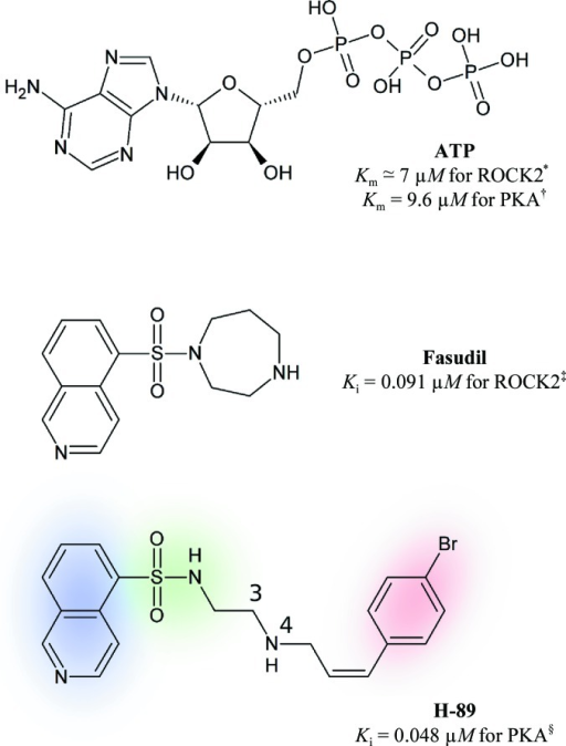 Chemical structures of adenosine-5′-triphosphate (ATP), Fasudil and H-89 in similar orientations with respect to the ATP pocket (hinge region at the left). The isoquinoline portion of H-89 is highlighted in blue, the sulfonamide portion in green and the bromobenzene moiety in red. The numbering of the H-89 molecule refers to C3 and N4, consistent with the designation of the atoms in the structure 3vqh. 'PKA' refers to cAMP-dependent protein kinase catalytic subunit α isoform 1 and 'ROCK2' to Rho kinase α. Affinity values were taken from the literature: *, Rajagopalan et al. (2010 ▶); †, Gassel et al. (2003 ▶); ‡, Yano et al. (2008 ▶); §, Engh et al. (1996 ▶).