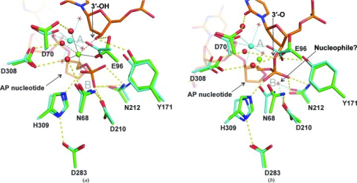 Alignment of the new Mg2+-bound APE1 structure with DNA-bound structures. (a) Recently determined structure of the APE1 enzyme–product (EP) complex (green; PDB entry 4iem; Tsutakawa et al., 2013 ▶) aligned with the structure of Mg2+-bound APE1 (cyan) reported here. DNA from the EP complex (orange) contains a 3′-OH and a 5′-deoxyribose phosphate (dRP). The Mg2+ ion from the EP complex is colored green and its coordination is indicated by black dotted lines. The Mg2+ ion from the new DNA-free structure is colored cyan and its coordination is indicated by cyan dotted lines, with coordinating water molecules shown as red stars. Hydrogen-bond interactions (yellow dashes) are shown for the EP complex only. The approximate locations of the A and B sites are noted (gray symbols). (b) Structure of the APE1 enzyme–substrate (ES) complex (green; PDB entry 1dew; Mol et al., 2000 ▶) aligned with the new structure of Mg2+-bound APE1 (cyan). The DNA in the ES complex (orange) contains an intact abasic site and Mg2+ was omitted from the ES complex to halt P—O bond cleavage. The green sphere indicates the position of the Mg2+ ion in the EP complex (also aligned with DNA-free APE1). Mg2+ in the DNA-free structure is shown in cyan; its coordination is indicated by cyan dotted lines, with coordinating waters shown as red stars. Hydrogen-bond interactions (yellow dashes) are shown for the ES complex. The potential nucleophilic water from our DNA-free structure is shown as a red star, with cyan dashes indicating hydrogen bonds to Asp210 and Asn212. This water molecule was also observed in previous structures of APE1 with Sm3+ or a single Pb2+ ion (Fig. 1 ▶). The approximate locations of the A and B sites are noted (gray symbols).