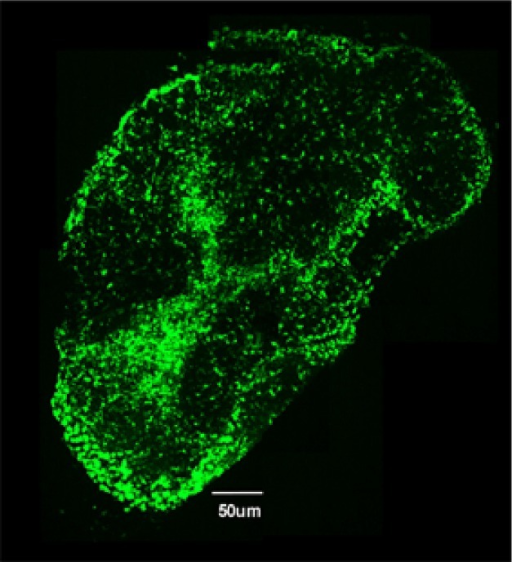 "Image of a cecum draining lymph node (cLN) from a mouse infected with S. Tm. and treated for two days with ciprofloxacin. Green fluorescence marks the ""classical"" dendritic cells present in the cLN."
