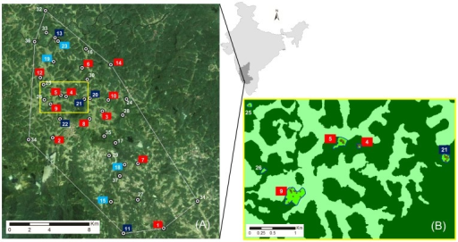 Location of the study area within India (light grey) and Karnataka (dark grey).Image (A): Study area marked with a white minimum convex polygon (216 km2) around the numbered forest patches where adult trees were found. The color labels of the numbers indicate if only Dysoxylum malabaricum seed for the nursery trial were collected (light blue), if only survey plots were established (dark blue) or if both records were taken (red). Image (B): Zoom of the yellow rectangle on image (A) with coffee plantations marked dark green and open areas (mainly paddy) marked light green. Investigated forest patches are the bright green polygons with a blue border and dots displaying adult D. malabaricum trees.
