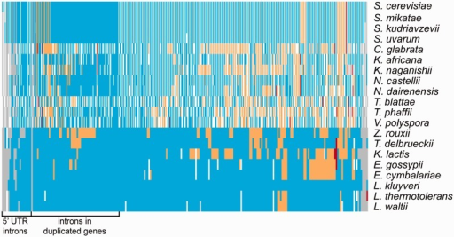 Heatmap showing intron evolution within YGOB species. Each row represents one of the species listed on the right. Each column corresponds to an ancestral intron. For post-WGD species columns are divided in two to represent the presence of the duplicate copies. Blue indicates intron presence, orange indicates loss by replacement of the gene with cDNA, red shows intron loss accompanied by additional codons inserted or deleted, and gray shows unknown state of intron.