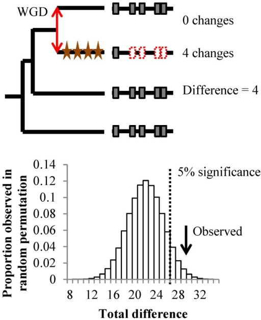 Correlated evolution of short linear motifs.Top panel shows the procedure to obtain the number of lineage specific changes in constraints in a single protein. Red double arrow illustrates the duplication event. Stars represent significant changes in constraints along the lineage. Significant changes in constraints detected on short linear motifs are shown in dotted red boxes. Bottom panel shows the distribution of the total cumulated number of lineage specific changes in constraints from a non-parametric permutation test. Arrow shows the observed total difference for all 20 paralog pairs.