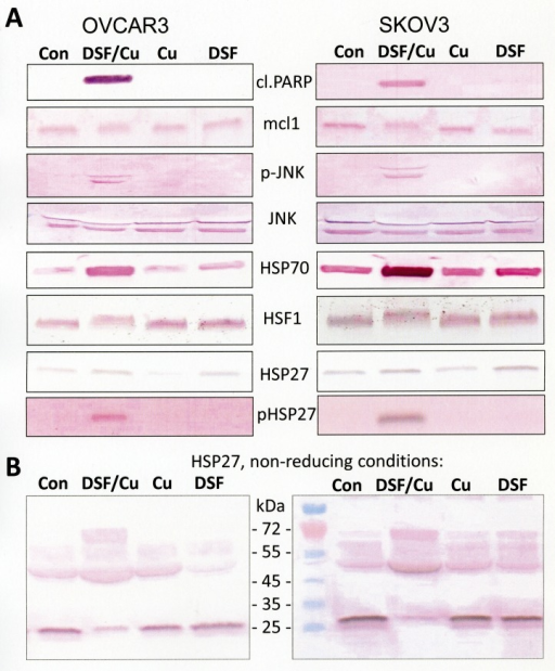 Activation of apoptosis and the heat shock response by disulfiram/copperOVCAR3 and SKOV3 cells were treated for 24 h with either 1 μM disulfiram (DSF), 1 μM copper chloride (Cu), or a combination of both (DSF/Cu; 1 μM each) and analyzed by Western blot. Cell lysates for Western blot analysis were prepared with RIPA buffer and subsequently solubilized in mercaptoethanol-containing sample buffer (Roti-Load 1; Carl Roth, Karlsruhe, Germany) or non-reducing sample buffer (Roti-Load 3; Carl Roth, Karlsruhe, Germany) as indicated. cl.PARP = cleaved PARP.