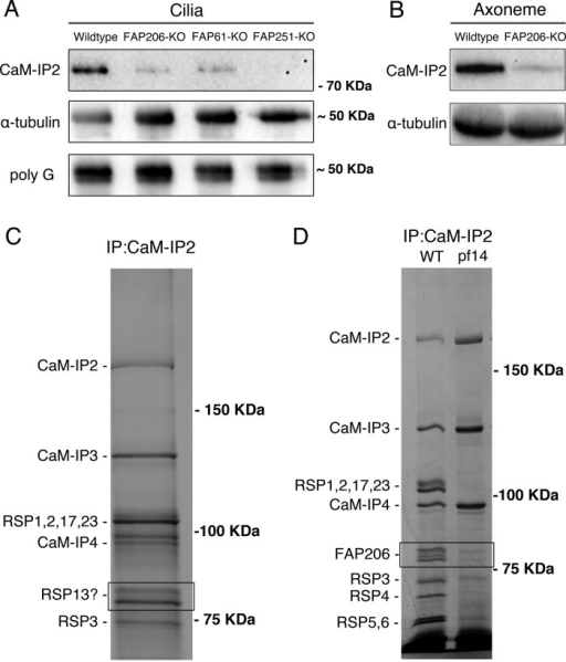 FAP206 interacts with CSC. (A) A Western blot of purified cilia isolated from Tetrahymena strains that are wild type, lack genes encoding the Tetrahymena homologues of CSC proteins (FAP61/CaM-IP3 or FAP251/CaM-IP4), or lack FAP206, probed with antibodies specific to FAP91/CaM-IP2 of C. reinhardtii (top; Dymek et al., 2011), 12G10 monoclonal α-tubulin (middle), or polyglycylated tubulin (bottom). Note that the levels of the anti-FAP91/CaM-IP2 band are strongly reduced in the strains lacking the CSC protein homologues, indicating that the antibodies are specific to the Tetrahymena FAP91 homologue. Furthermore, the levels of the FAP91 homologue are strongly reduced in the strain lacking FAP206, indicating that axonemal assembly of FAP91 and likely other CSC components depends on the presence of FAP206. Images of the entire blots are shown in Supplemental Figure S1. (B) Western blot of axonemes of wild type and FAP206-KO probed with anti-FAP91 and 12G10 anti–α-tubulin antibodies. (C) Silver stained SDS–PAGE gels showing an immunoprecipitate obtained from the radial spoke-enriched supernatants of C. reinhardtii axonemes. The positions of known CSC components and major radial spoke proteins are marked. The two bands (boxed area) that migrated with an apparent molecular weight of 80 kDa were found to contain the Chlamydomonas FAP206 homologue (CHLREDRAFT_171124). (D) Immunoprecipitates obtained with the anti-FAP91/CaM-IP2 antibodies from the radial spoke–enriched supernatant of Chlamydomonas axonemes that were either wild type or spokeless pf14 mutant. Note the absence of the FAP206 bands, indicating that the CSC-FAP206 interaction requires RSP3 as an intermediate.