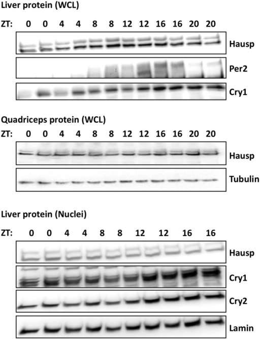 Circadian measurement of Hausp protein expression in mouse tissues.Hausp, Per2, Cry1, Cry2, Tubulin, and Lamin were measured by IB in whole cell lysates or nuclei prepared from mouse liver or quadriceps harvested at the indicated ZTs. Each lane on the gel represents a sample collected from a unique animal.DOI:http://dx.doi.org/10.7554/eLife.04883.005