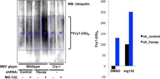 Quantitation of in vivo Cry1 ubiquitination.Quantitation of ubiquitinated Cry1 immunoprecipitated from MEFs expressing shRNA targeting Hausp (blue) or a control sequence (black). Left, western blot from Figure 2C with boxes used for quantitation. The average signal detected in the first two lanes (background nonspecific signal from Cry1−/−;Cry2−/− cells) was subtracted from each of the other lanes to generate the data show on the right.DOI:http://dx.doi.org/10.7554/eLife.04883.009