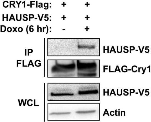 Effect of DNA damage on Cry1-Hausp interaction in transfected 293T cells.HAUSP-V5, FLAG-Cry1, and Actin were detected by IB in IPs or whole cell lysates (WCL) from 293T cells transfected with the indicated plasmids (by calcium phosphate method) and treated with doxorubicin.DOI:http://dx.doi.org/10.7554/eLife.04883.011