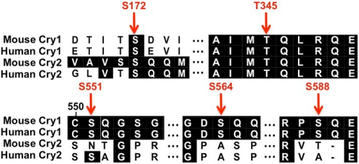 Conserved SQ/TQ motifs present in Cry1 and/or Cry2.Sequence alignment of mouse and human Cry1 and Cry2 indicating the positions and conservation of several SQ/TQ motifs. (Numbers correspond to the amino acid positions in mouse Cry1.)DOI:http://dx.doi.org/10.7554/eLife.04883.016