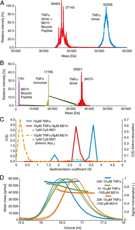 Mass spectrometry (MS), analytical ultracentrifugation (AUC) and light-scattering experiments (MALS). (A) LCT ESI-TOF MS: TNF-α (10 μM) without (blue) or with excess M21h (100 µM) incubated for (A) 4 weeks (RT) or (B) 1 h (4°C, PBS) (C) AUC: 10 µM TNFα with (red line) or without (blue line) unlabeled bicyclic peptide (M21h) and cy5-labeled bicycle (cy5-M21h) incubated for 42 h at RT before centrifugation at 45 krpm and sedimentation and sedimentation (D) SEC-MALS: TNFα (10 µM) with or without M21h pre-incubated for different times at RT.