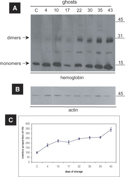Globin oligomerization/crosslinking events on the membranes of RBCs stored in CPDA. (A) Western blot analysis of the ghosts of a representative donor performed with anti-human Hb polyclonal antibody.The duration of storage is indicated in days starting from blood donation. (B) Western blot analysis of ghosts against human actin (internal control). MW of the proteins is shown in kDa (right-hand side). (C) Densitometry analysis performed on ECL-developed films, regarding the relative proportion of Hb (monomers and oligomers) in the ghosts. The points in the graphs represent the average values among the six tested blood donors, after normalization to control values. Error bars demonstrate the standard deviation between the six donors.